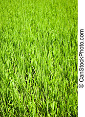 Green texture of rice field. South India