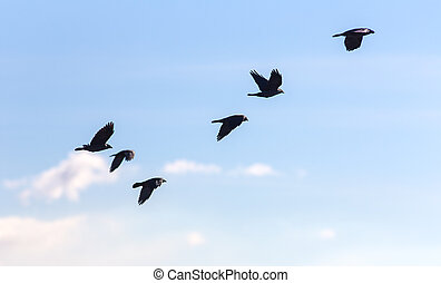 flock of jackdaws