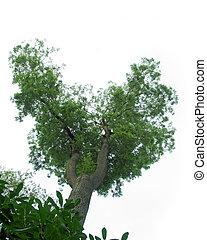Ash tree on white