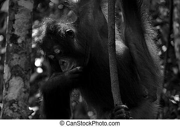 Wild Orangutan in Rain Forest - Black and White - Wild...