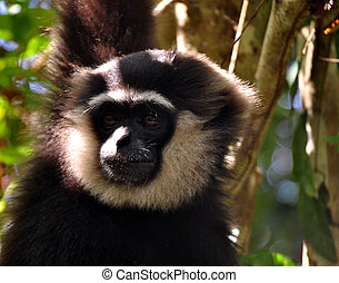 Natural Black and White Gibbon - Black and White Gibbon at...