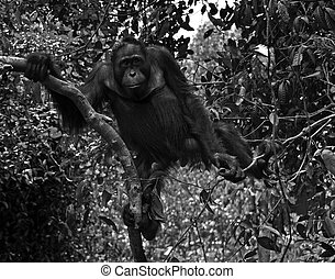 Orangutan in the Wild - Black and White - Wild orangutan at...