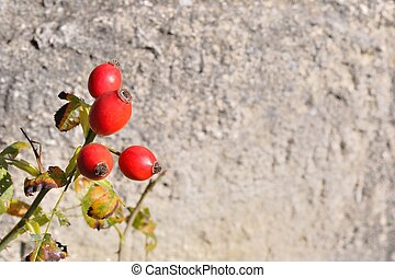 Briar, wild rosehip shrub in nature with blurred stone in...