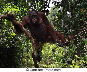 Wild Orangutan in the Rain Forest - Wild orangutan at the...