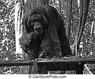 The King of Orangutan - Black and White - Wild orangutan at...