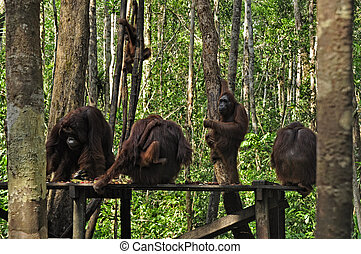 Orangutan at National Park - Orangutan at rehabilitation...