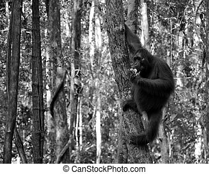B/W Wild Orangutan - Black and White - Wild orangutan at the...
