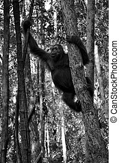 BW Orangutan in the Wild - Black and White - Wild orangutan...