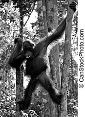 B/W Young Orangutan - Black and White - Wild orangutan at...