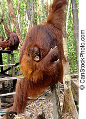 Orangutan at Rehabilitation Center - Orangutan at...