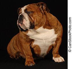 english bulldog - red brindle english bulldog sitting...