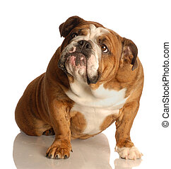 dog looking up - english bulldog sitting looking up with...