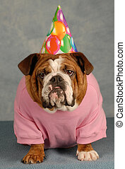 birthday dog - english bulldog dressed up for birthday party