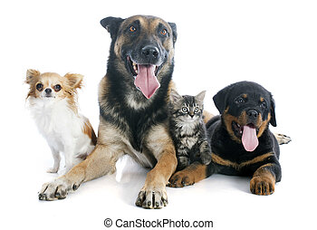 dogs and kitten - malinois, rottweiler kitten and chihuahua...