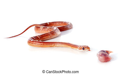 eating corn snake, elaphe guttata in front of white...