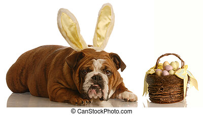 dog dressed as easter bunny - english bulldog with bunny...