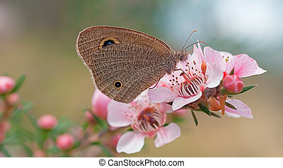 Australian Dingy Ring butterfly - Australian Dingy Ring or...