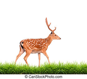 sika deer with green grass isolated