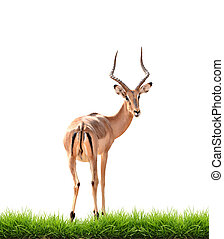 impala with green grass isolated on white background