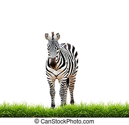 zebra with green grass isolated on white background