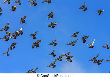 Doves And Pigeons In Flight
