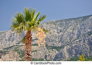 Palm tree with mountain Biokovo - Palm tree with high...