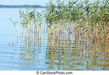 Summer rushy lake view (Svityaz, Shatsky National Natural...
