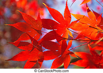 Red maple leaves. - Detailed view of red maple leaves. (Acer...