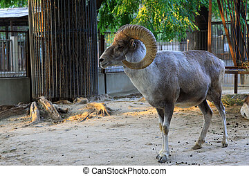 Argali in the Beijing zoo - lovely Argali in the Beijing...