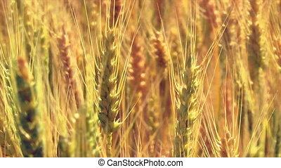 Close Up Ripe Wheat