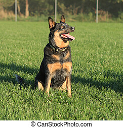 Blue heeler dog sitting - Black and tan Australian Cattle...