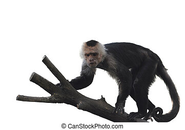 White Faced Capuchin Monkey On White Background