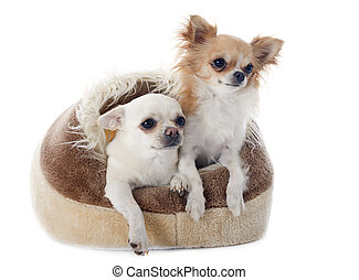 chihuahua in dog bed - chihuahuas in dog bed in front of...