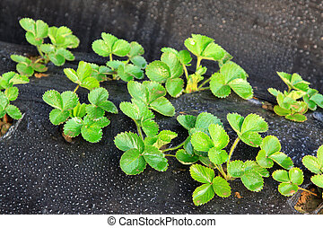 strawberry plant in a greenhouse