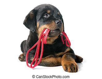 rottweiler and leash - portrait of a purebred puppy...
