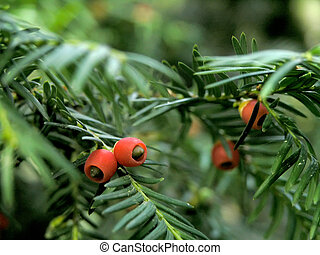yew berries - close-up berries of yew-tree Taxus baccata