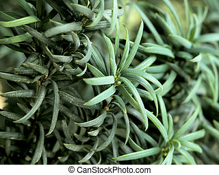 yew background - close-up thorns of yew-tree (Taxus Baccata)...