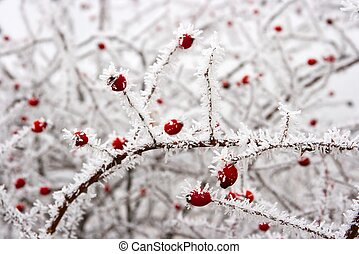 Winter - Red rose-hip in winter under frost