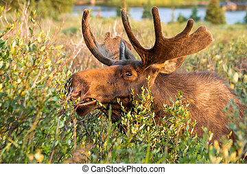 Moose - Young bull moose eating willows by lake