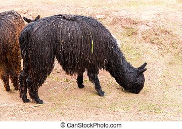 peruano, Alpaca, granja, llama, Alpaca, vicuña,...