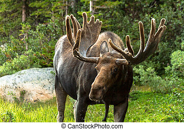 Moose - Close up of large bull moose standing by forest