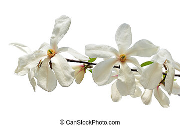 White star magnolia flowers isolated