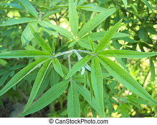 Vitex agnus castus - Close-up of young leaves of a vitex...