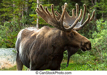 Moose - Profile shot of large bull moose standing in grass