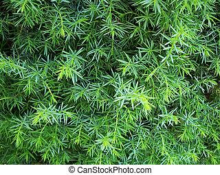 Wild Juniper - Close-up of a juniper bush