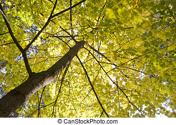 Looking up at yellow leaves.