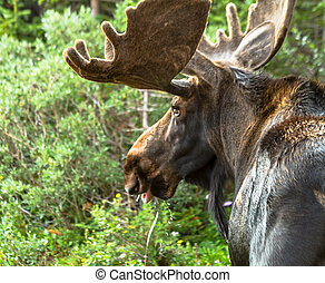 Moose - Side view of large bull moose drinking water with...