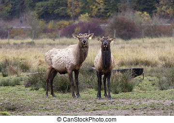 Two elk looking at camera - A farm raised elk in the middle...