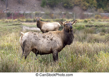 Two elk in field - A farm raised elk in the middle of the...