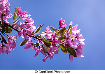 Crabapple Trees Blooming - Branch of blooming Crabapple tree...